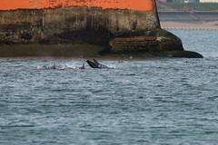 IMG_5756 (monika.carrie) Tags: monikacarrie wildlife scotland aberdeen dolphins dolphin cetacean mammal