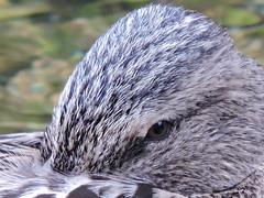 DSCN0199 (salva.al) Tags: animal pajaro pato anade pluma ojo