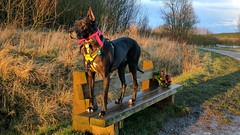 Evie making a stand (for treats!) on a bench (eucharisto deo) Tags: evie dog bench sence valley park