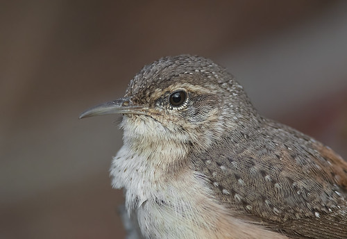 Rock Wren close-up (Jerry Ting) Tags: coyotehillsregionalpark fremont california ebparksok rockwren