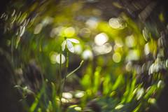 Spring Swirls (Dhina A) Tags: sony a7rii ilce7rm2 a7r2 taylor hobson cooke kinic 1 inch f15 taylorhobsoncookekinic25mmf15 swirl boheh swirlbokeh coatedversion 25mm