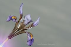 Cretan iris (Nikos Roditakis) Tags: cretan iris ungucularis ssp cretensis plants wild european greek iridaceae nikos roditakis macro tamron af sp 90mm f28 di vc usd episkopi pediados heraklion