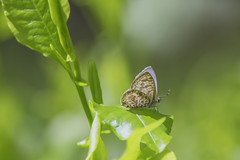 Butterfly in the light (S♡C) Tags: outdoor insect butterfly plumbagoblue leptotesplinius zebrablue plumbago light green