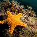 Pentagonaster dubeni - Vermillion biscuit star
