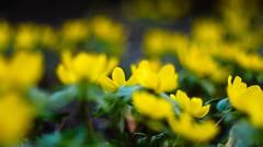⚘. ⚘. (cнαт-ɴoιr^^) Tags: 2017030812602902 flora frühling spring flower blume fiori fleur fridaysflower winterlinge winteraconite eranthishyemalis vintagelens minolta 50mm 14