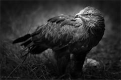 lesser spotted eagle (b/w) (klaus.huppertz) Tags: neuschönau tier animal vogel vögel bird greif greifvogel birdofprey eagle adler schreiadler lesserspottedeagle bw blackwhite clangapomarina clanga aquilapomarina aquila bavarianforest bayerischerwald natur nature outdoor nikon nikond750 d750 nikkor 300mmf28gvrii nikkor300mm28 nikonafsvrnikkor300mmf28gifed nikonflickrtrophy nikonflickraward