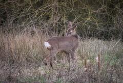 Deer (Emma Carr Photography) Tags: penningtonflash wildlifephotography naturephotography birdnerd birdphotography sigma150600mm nikon d810 deer wilddeer doe