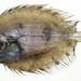 Grammatobothus polyophthalmus