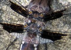 Eight-spotted skimmer (Libellula forensis) dragonfly, thorax closeup, Gatineau Park/Parc de la Gatineau, Gatineau, Québec, Canada, June 2015 (Judith B. Gandy) Tags: canada dragonflies dragonfly insects québec gatineau gatineaupark invertebrates libellula odonata skimmers libellulaforensis parcdelagatineau sugarbushtrail eightspottedskimmerdragonfly