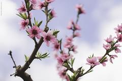 Las flores del patio como siempre (Marcelo de Los Andes) Tags: chile flores rose arbol flora colours rosa colores cielo durazno rosado