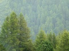 Under the rain - Sous la pluie - Sotto la pioggia (giorgiorodano46) Tags: agosto2010 august 2010 giorgiorodano arolla pioggia pluie rain bosco bois woods conifere valais vallese wallis alps alpes alpen alpi svizzera suisse switzerland schweiz forest