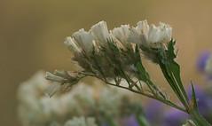 Anglų lietuvių žodynas. Žodis marsh rosemary reiškia marsh rozmarinas lietuviškai.