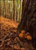 ARMILLARIA OSTOYAE  . SETAS DE LA MIEL. (TOYOGRACOR) Tags: naturaleza macro canon mushrooms flickr dof fav50 fungi explore bosque fungus soe hongos setas godlovesyou flickrs fav100 bej mywinners aplusphoto armillariaostoyae flickrdiamond theoriginalgoldseal mygearandme mygearandmepremium mygearandmebronze mygearandmesilver
