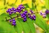 Japanese beautyberry (Yorkey&Rin) Tags: autumn macro japan october olympus neighborhood 秋 kanagawa rin kawasaki マクロ 10月 2015 近所 em5 japanesebeautyberry olympusm60mmf28macro ムラサキシキブ pc237845