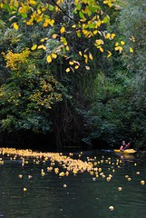 Entenrennen (kunstmacher) Tags: autumn color fall rio yellow river germany deutschland herbst ducks amarillo gelb pato alemania otoo enten fluss tuebingen neckar rubberducks entenrennen tbingen tubinga carreradepatos gummieenten