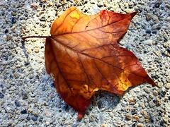 1 Bathing in Fall Light (poem below) (Mertonian) Tags: fall nature beauty wonder death golden leaf poem seasons seasonal veins delicate iphone ineffable ifone mertonian robertcowlishaw