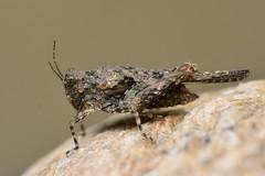 Paratettix meridionalis (Gilles San Martin) Tags: france pontdugard orthoptera gard