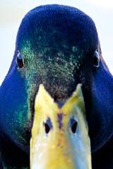 Mr. Duck (librarian7**) Tags: park usa tower grove stlouis missouri 80400mmf4556dvr duckstowergrovepark
