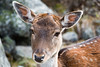 Une petite biche, pas farouche (La Tarrask) Tags: switzerland suisse swiss bambi animaux valais biche faon valdentremont