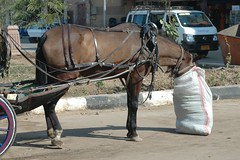 Horse eats from feed bag (Animal People Forum) Tags: street horse eating egypt cart luxor workinganimals feedbag workingequines
