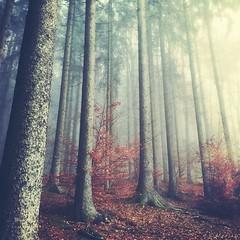 Autumn Melancholy (M a r i k o) Tags: camera autumn trees fall leaves mobile fog forest germany bayern bavaria woods moody nebel herbst squareformat mariko wald iphone ebersberg ebersbergerforst mobilephotography iphonephotography iphoneography picfx phototoaster iphone5s