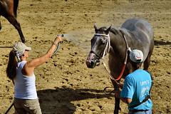2015-08-23 (93) r6 the pause that refreshes (JLeeFleenor) Tags: photos photography md marylandhorseracing marylandracing horses thoroughbreds equine equestrian cheval cavalo cavallo cavall caballo pferd paard perd hevonen hest hestur cal kon konj beygir capall ceffyl cuddy yarraman faras alogo soos kuda uma pfeerd koin حصان кон 马 häst άλογο סוס घोड़ा 馬 koń лошадь grey gray horsepeople maryland