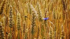 Summer (Bernd_Kowalski) Tags: blue summer plant nature field gold corn flickr sony natur pflanze pflanzen feld alpha korn cornflower kornblume kornfeld sonyalpha