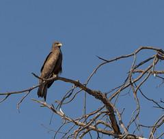 20151108_Shinde_0059.jpg (eLiL1860) Tags: bird birds botswana vögel vogel okavango yellowbilledkite tierwelt schmarotzermilan safari2015