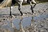 (lminyano) Tags: horse caballo cheval reflejo galope