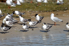Crested Terns and Gulls (blachswan) Tags: australia victoria portfairy silvergull griffithsisland silvergulls crestedterns