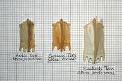 Comparison Tern (JRochester) Tags: skeleton sandwich arctic bones bone common comparison tern sternum