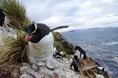 Life On The Edge (Thom Gibbs) Tags: life canon eos rebel penguin islands kiss wildlife edge thom 1855 kidney falklands rockhopper gibbs falklandislands t3i x5 falkland islasmalvinas 600d kissx5 thomgibbs