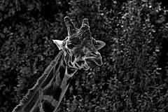 Giraffe (DaveFlker) Tags: giraffe melbourne zoo mono blackwhite