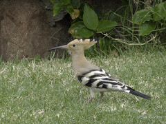 Stripey Bird (someofmypics) Tags: hiltonfayrouz naamabay egypt stripeybird anthiasdivers redsea