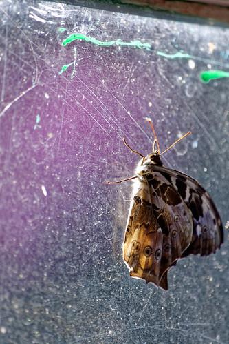 Butterfly on a window