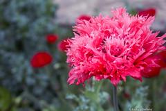 Flower (Fannykyta) Tags: ibirapuera flores rodagigante
