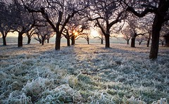 frosty orchard (cappuccino289) Tags: winter hoarfrost sunrise cold grass
