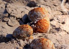 Clam shells (pattyannemac) Tags: stumppassfloridastatepark statepark englewoodflorida clamshells shells beach sand
