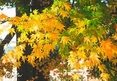 IMG_1663 (CBR1000RRX) Tags: 650d canon taiwan travel tourist landscape maple leaf autumn