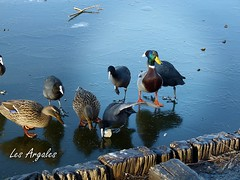2017-01-21 Rieulay (26)les argales f (april-mo) Tags: rieulay nord lesargales naturepark birds oiseaux lake lac reflection