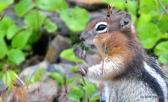 DSC_0672 (rachidH) Tags: squirrel écureuil rodents goldenmantledgroundsquirrel spermophiluslateralis callospermophiluslateralis spermophileàmanteaudoré écureuilterrestreàmanteaudoré spermophileàmanterayée logan pass loganpass westglaciernationalpark montana rockymountains mt rachidh nature