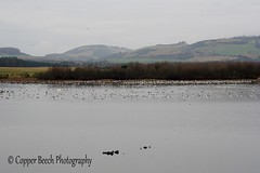 22-1-2017 (Copperhobnob) Tags: 2017 birds fife january2017 pad scottishsunday lochan