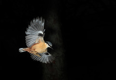 Flyby (Nickerzzzzz - Thanks for stopping by :)) Tags: ©nickudy nickerzzzzz theartofphotography canon5d3 ef50mmf18stm photograph wildlife nature bird nuthatch sittidae outdoor sittaeuropaea flyby bif uk feathers flight