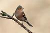 _F0A8404.jpg (Kico Lopez) Tags: fringillacoelebs galicia lugo miño pinzóncomún spain aves birds rio