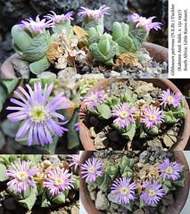 Gibbaeum petrense (collage)