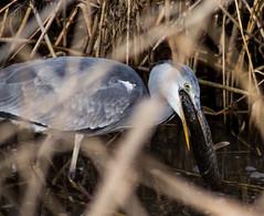 Auge in Auge (wpt1967) Tags: canon100300mm canoneos6d castroprauxel erinpark fisch graureiher reiher vogel vögel bird fish fressen heron wpt1967