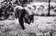 Bad lad (Tracey Rennie) Tags: murdo cat monochrome bokeh strongpreydrive tuxedo hesagoodboyreally stalking imabully littledoglaughednoiret