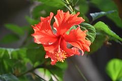 Hibuscus, Bali. (Manoo Mistry) Tags: nikond5500body nikon bali seminyak tamron18270mmzoom holiday tourism flowers hibiscus chinarosehibiscus orange nature outdoor indonesia