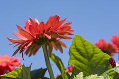 Spring Flowers (WilliamND4) Tags: flower red sky d750 macro tokina100mmf28atxprod nikon fullframe