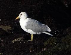 California Gull--Larus californicus (Polioptila caerulea) Tags: gull californiagull adultcaliforniagull laruscalifornicus ptpinos pointpinos monterey montereycounty california cagu